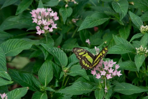 Green & black butterfly